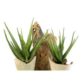 Aloë Planten 70 cm en 55 cm